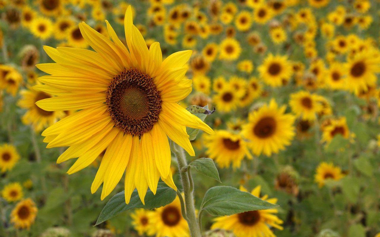 Free Sunflower Desktop Backgrounds | Free Sunflowers Desktop ...