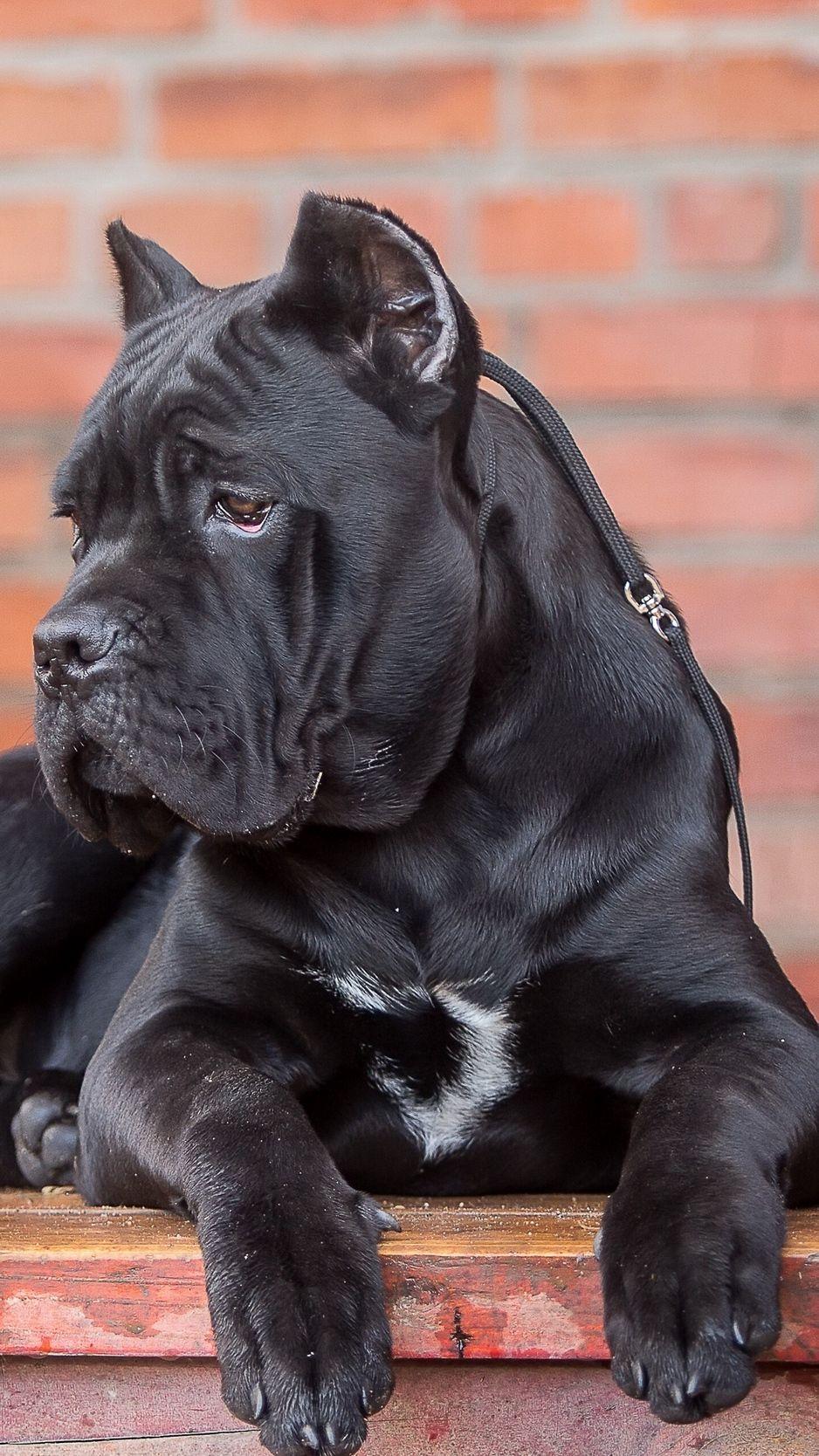 Cane Corso Dog Look Wallpaper Background Iphone Cane Corso Cane Corso Dog Corso Dog