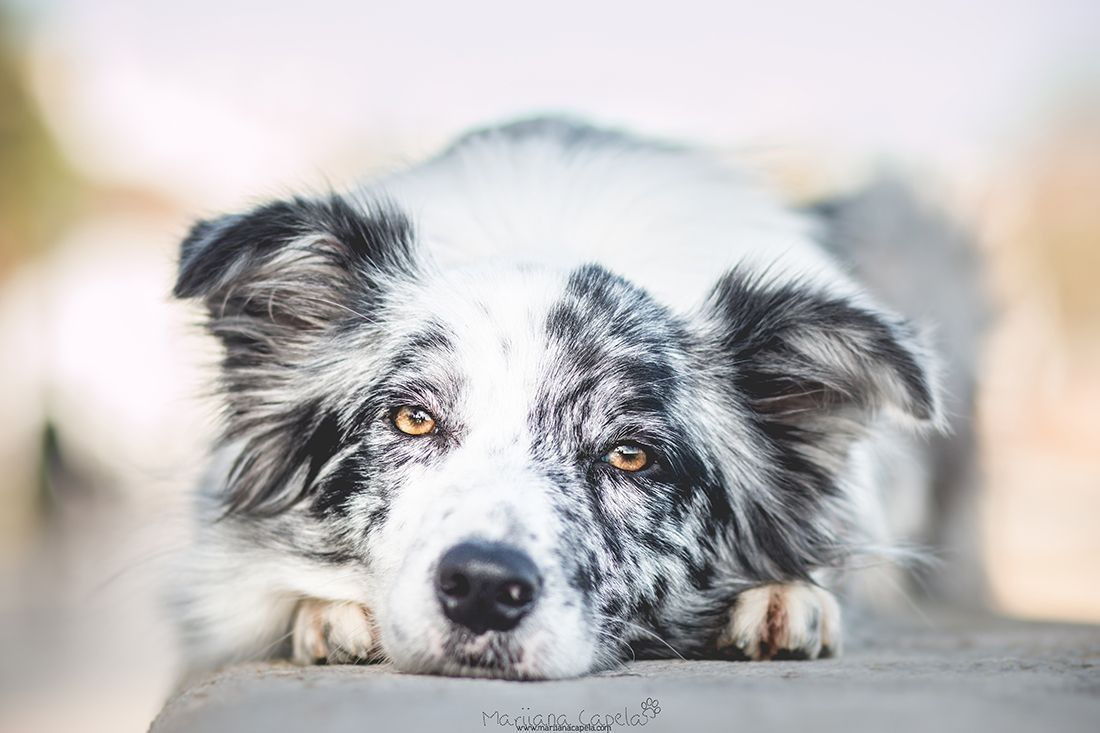 Pin Von Barbara Rathmanner Auf Border Collie Blue Merle Hunde Dobermann