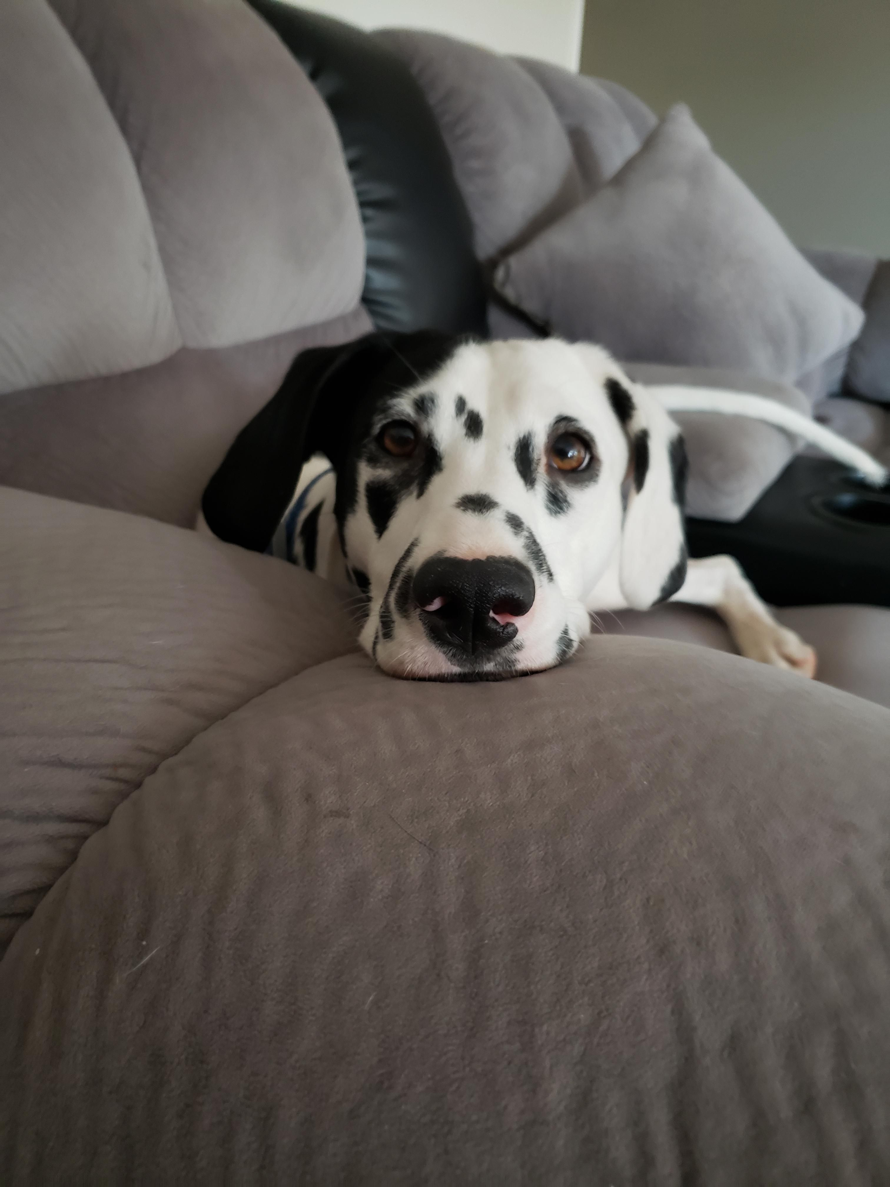 Yes I Have Black Spots And White Fur And Brown Eyes Like My Owner Also I M The Cutest Dalmatian In Arizona I Hope That You Ha White Fur Black Spot Yes