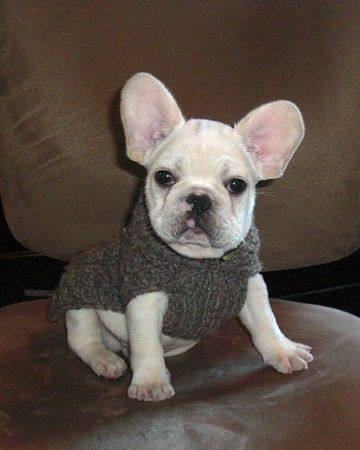 Frenchies Cute French Bulldog Dapper Dogs French Bulldog Puppies