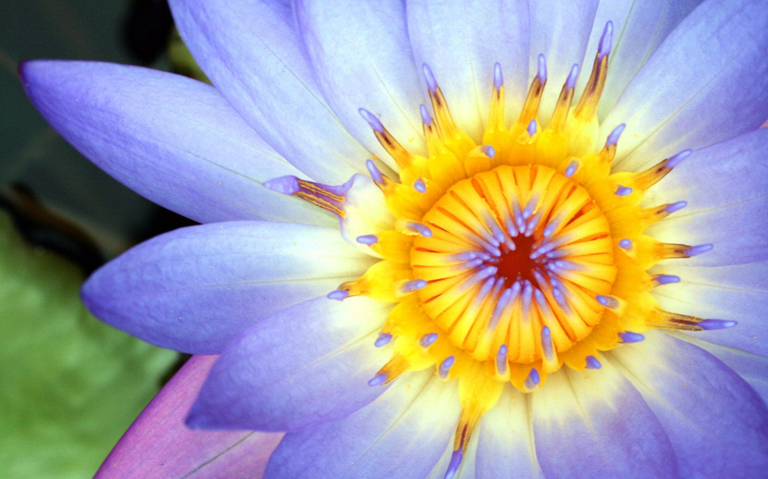 Purple Waterlily Photo, Waterlily Photography. Nature Photography ...