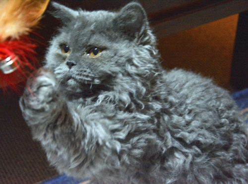 Beautiful Curly Haired Cat Breeds In The World Cat Breeds Cat Breeding Fluffy Cat Breeds Grey Cat Breeds Curly Curly Cat Grey Cat Breeds Curly Haired Cat