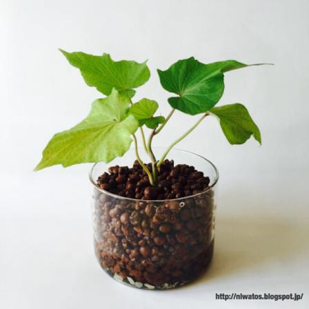 挿し木 ハイドロカルチャー さつまいも ハイドロカルチャー 植物栽培 挿し木