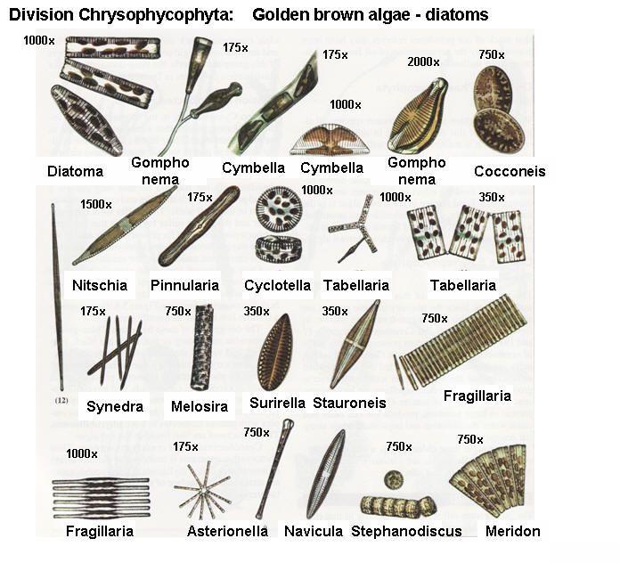 diatom algae pinterest microbiology