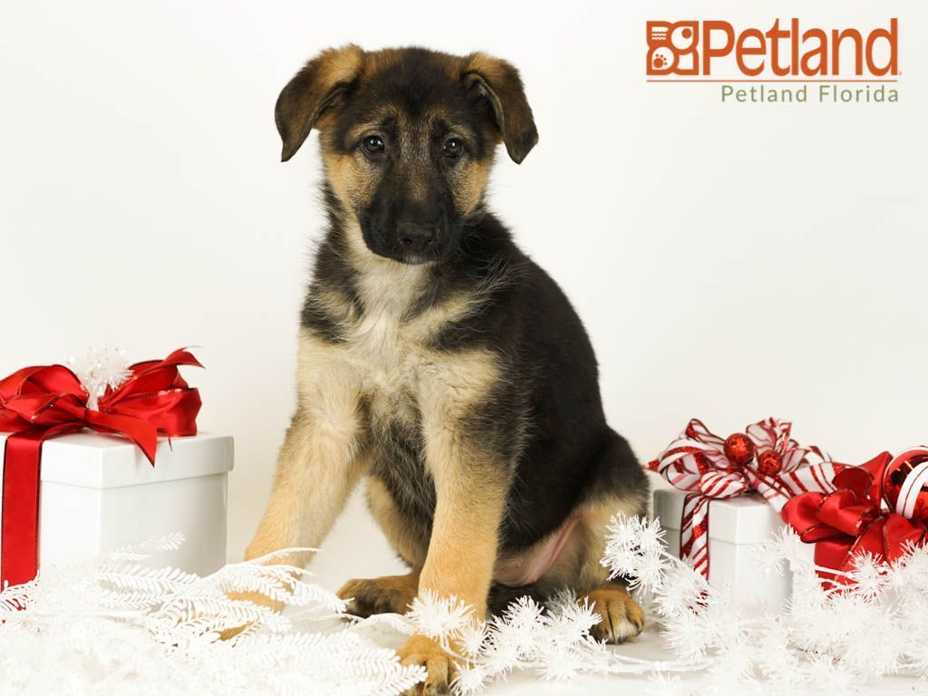 Petland Florida Has German Shepherd Puppies For Sale Check Out All Our Available Puppies Germanshepherd Petlandlargo Petland P Puppies For Sale German Shepherd Puppies Shepherd Puppies