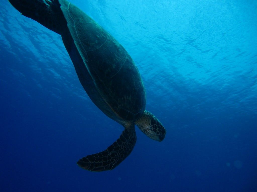 Turtle, in Reunion Island, by V. Herard