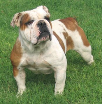 Olde English Bulldogge Olde English Bulldogge Bulldog Puppies Old English Bulldog