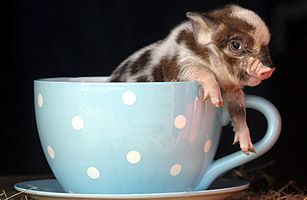 Teacup pig in a teacup.