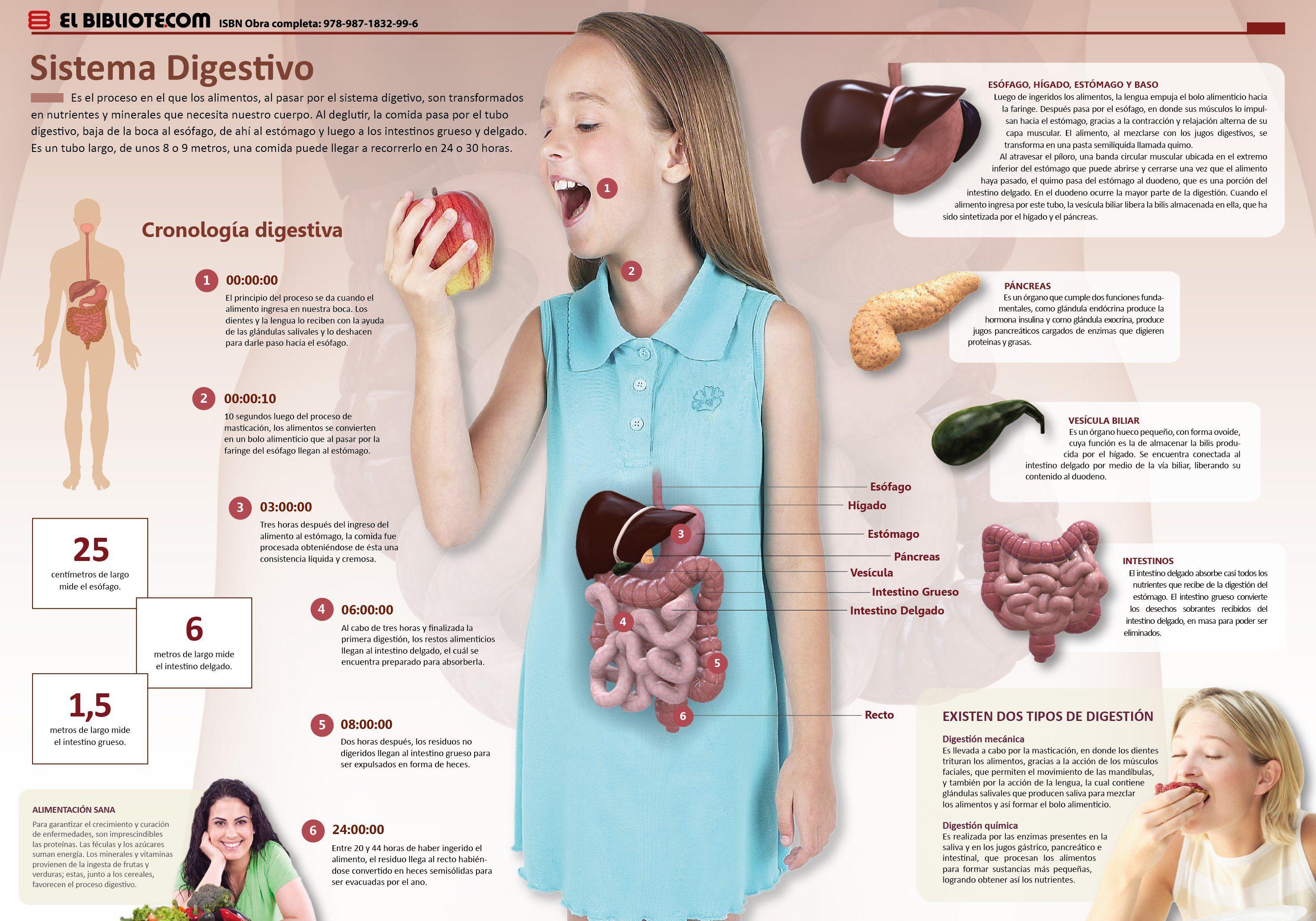 El Aparato O Sistema Digestivo Es El Conjunto De órganos Encargados Del Proceso De Sistema Digestivo Para Niños Aparato Digestivo Organos Del Aparato Digestivo