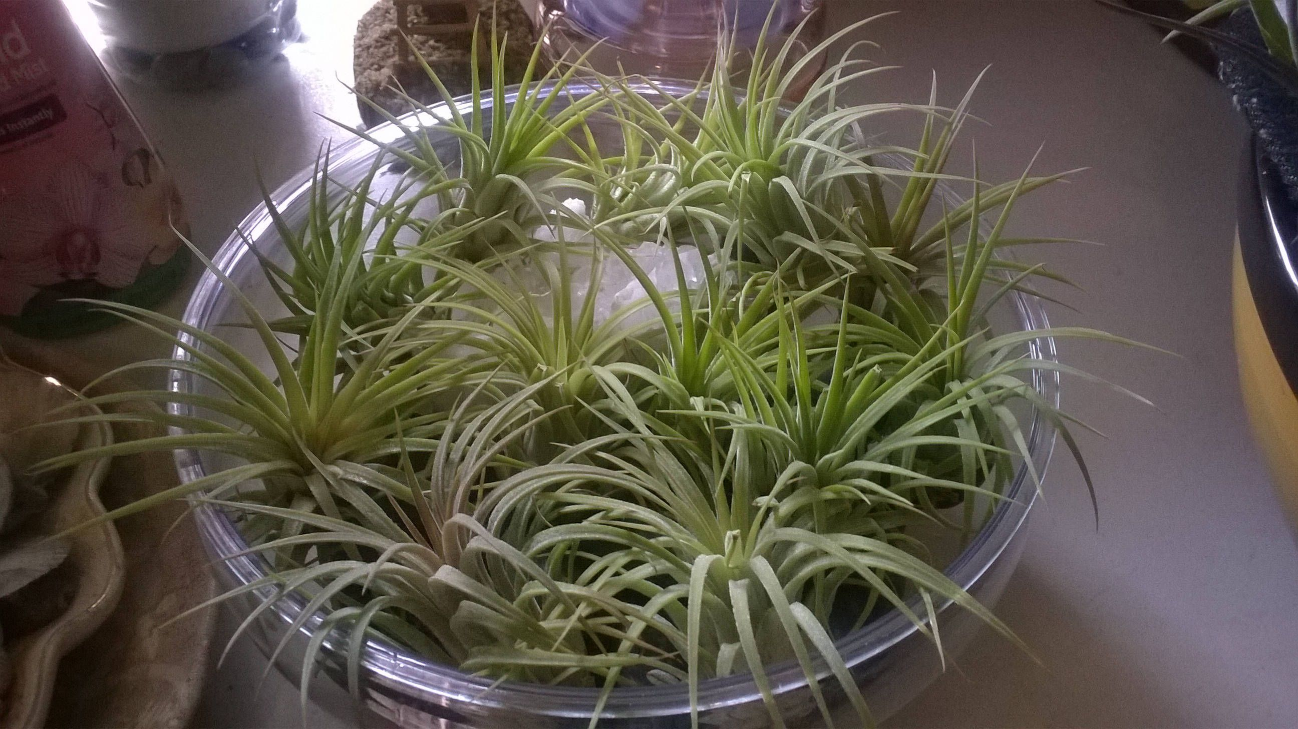 15 Tillandsia Air Plants Treasury Set Great For Wedding Favors