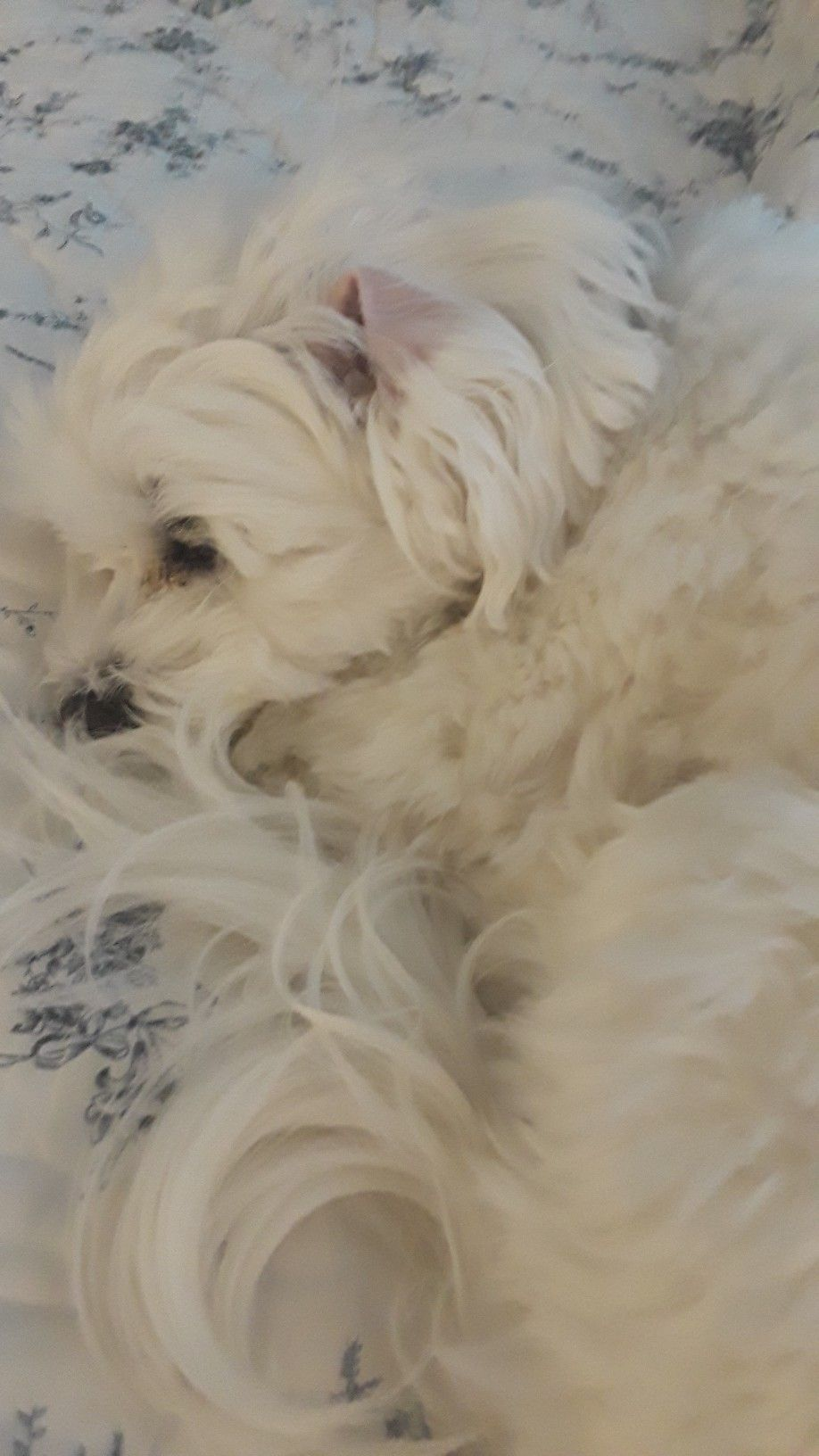 Pin By Ann Cook On Maltese Havanese Puppies Maltese Puppy