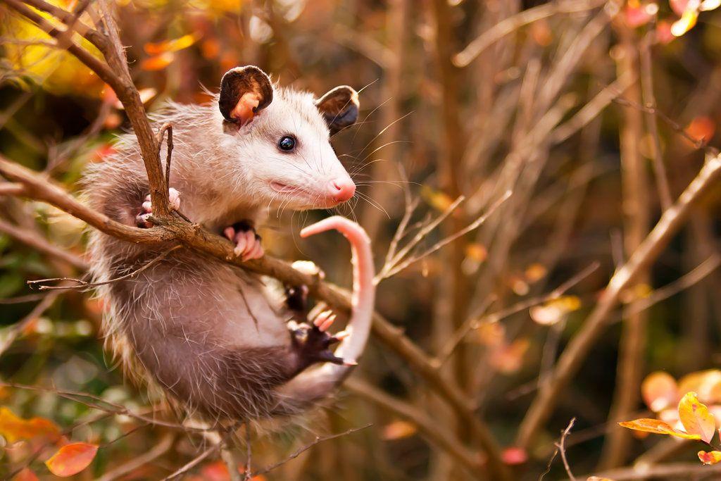 s t r e n g t h by Ajean on deviantART Opossum, Animals