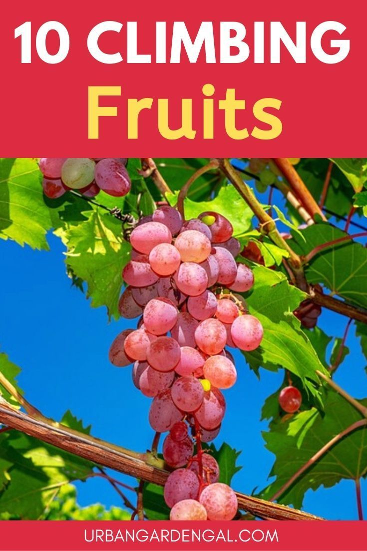 10 Climbing Fruit Plants Climbing fruit vines are ideal vertical garden plants Here are 10 of the best trellis fruits to grow your own fruit at home