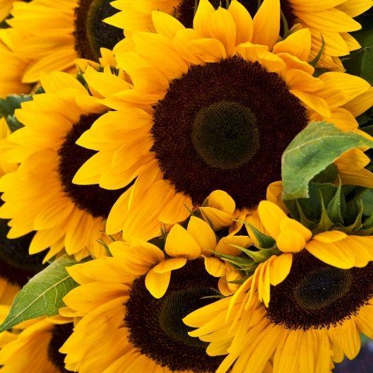 Sunflower Mammoth Grey Stripe Seeds Sunflower Colors Color Schemes Color Balance