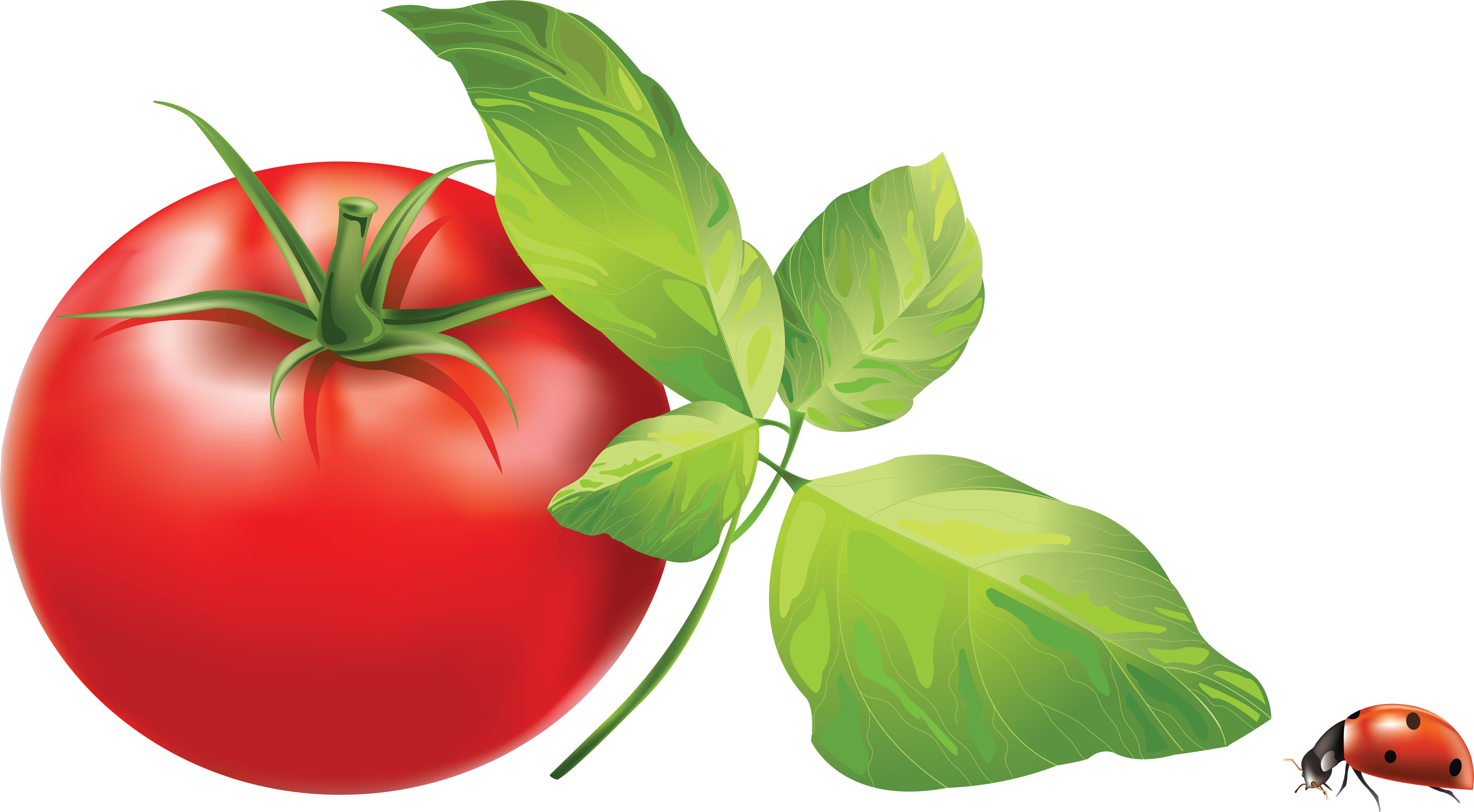 Tomato Png Image Tomato Plants Support Hanging Tomato Plants Pruning Tomato Plants