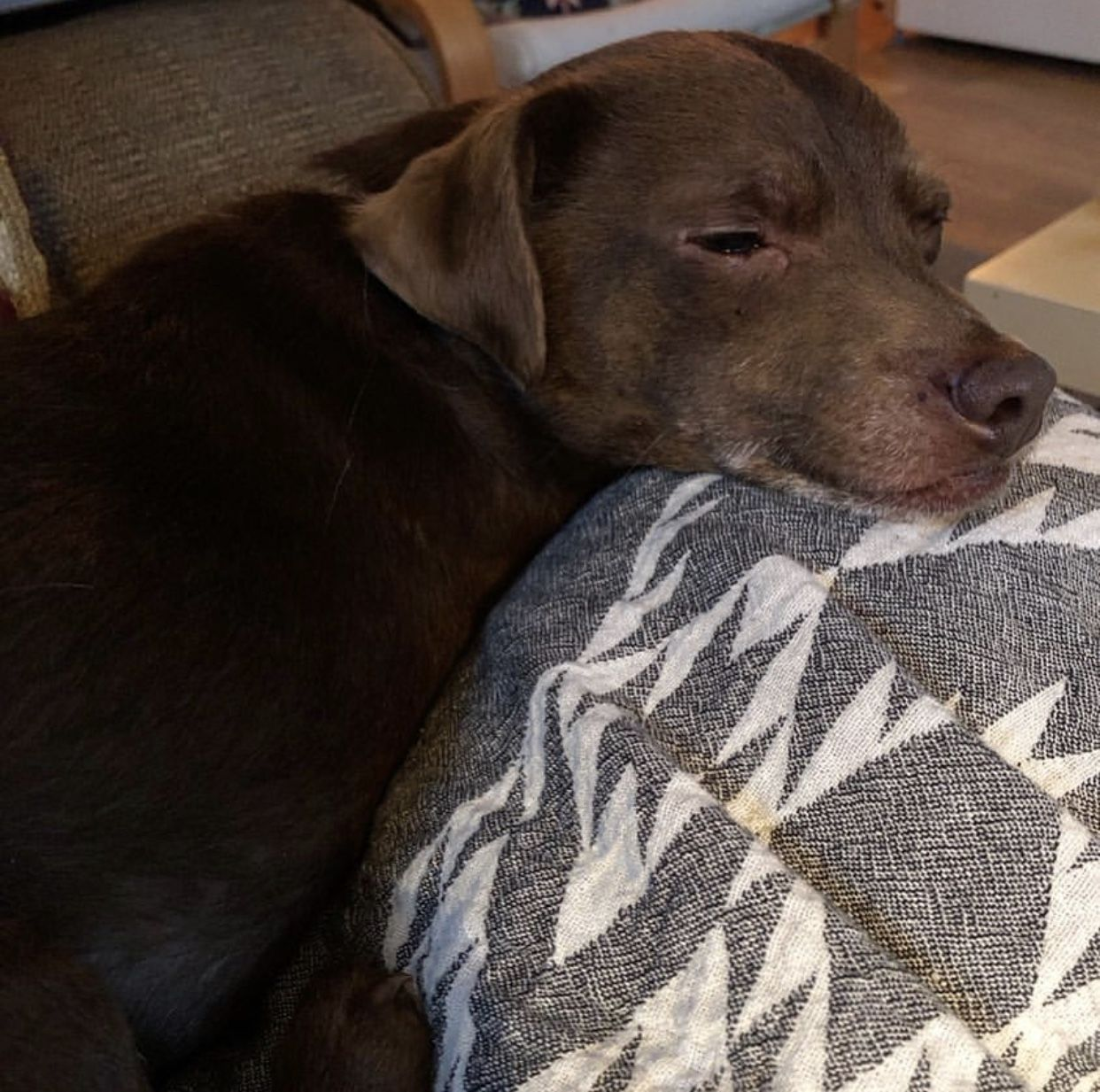 Chocolate Lab Snuggled Up With Our Tofino Towel Throw Beach