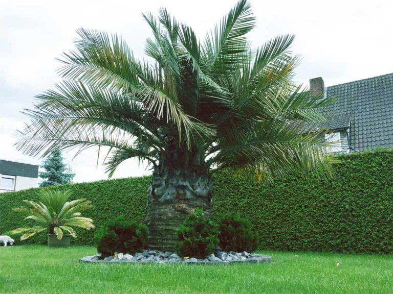 Jubaea Chilensis Oder Auch Honigpalme Genannt Ausgepflanzt In Palmen Deutschland Palmen Garten Mediterraner Garten Garten