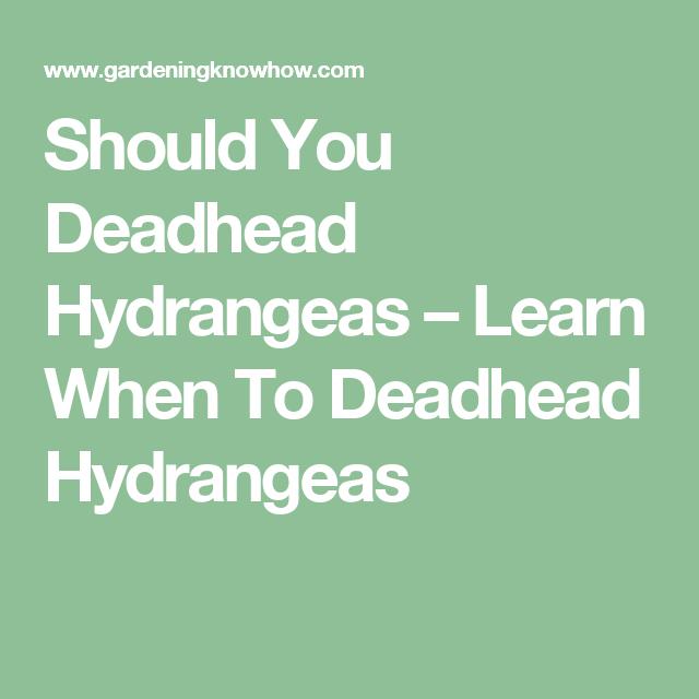 Should You Deadhead Hydrangeas Learn When To Deadhead Hydrangeas Hydrangea Container Gardening Shade Growing Hydrangeas