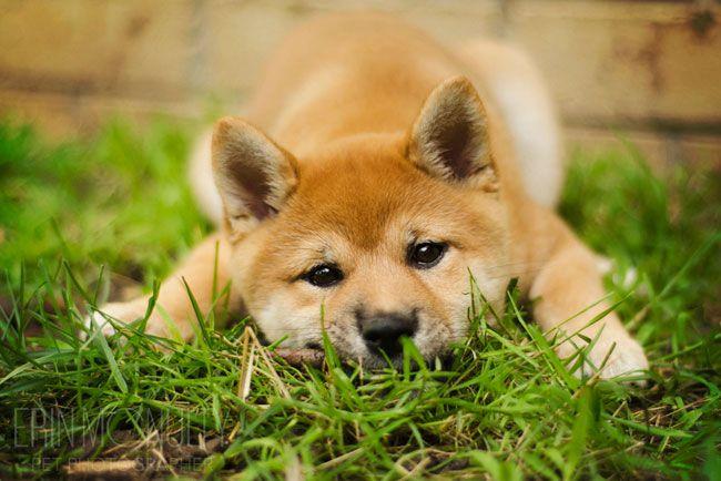 Cinder The Shiba Inu Puppy Shiba Inu Pets Shiba Inu Dog