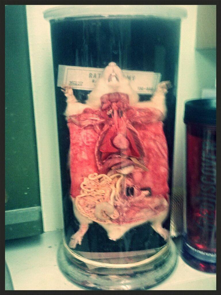disected rat wet specimen | Cabinet of Curiosities | Pinterest ...