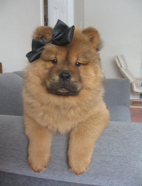 Baby Dog With Bows Cute Animals Dog Emoji Teddy Bear Dog