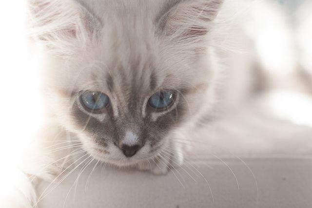 Miot L Dzika Bestia Mała Domowa Hodowla Kotów Syberyjskich Neva