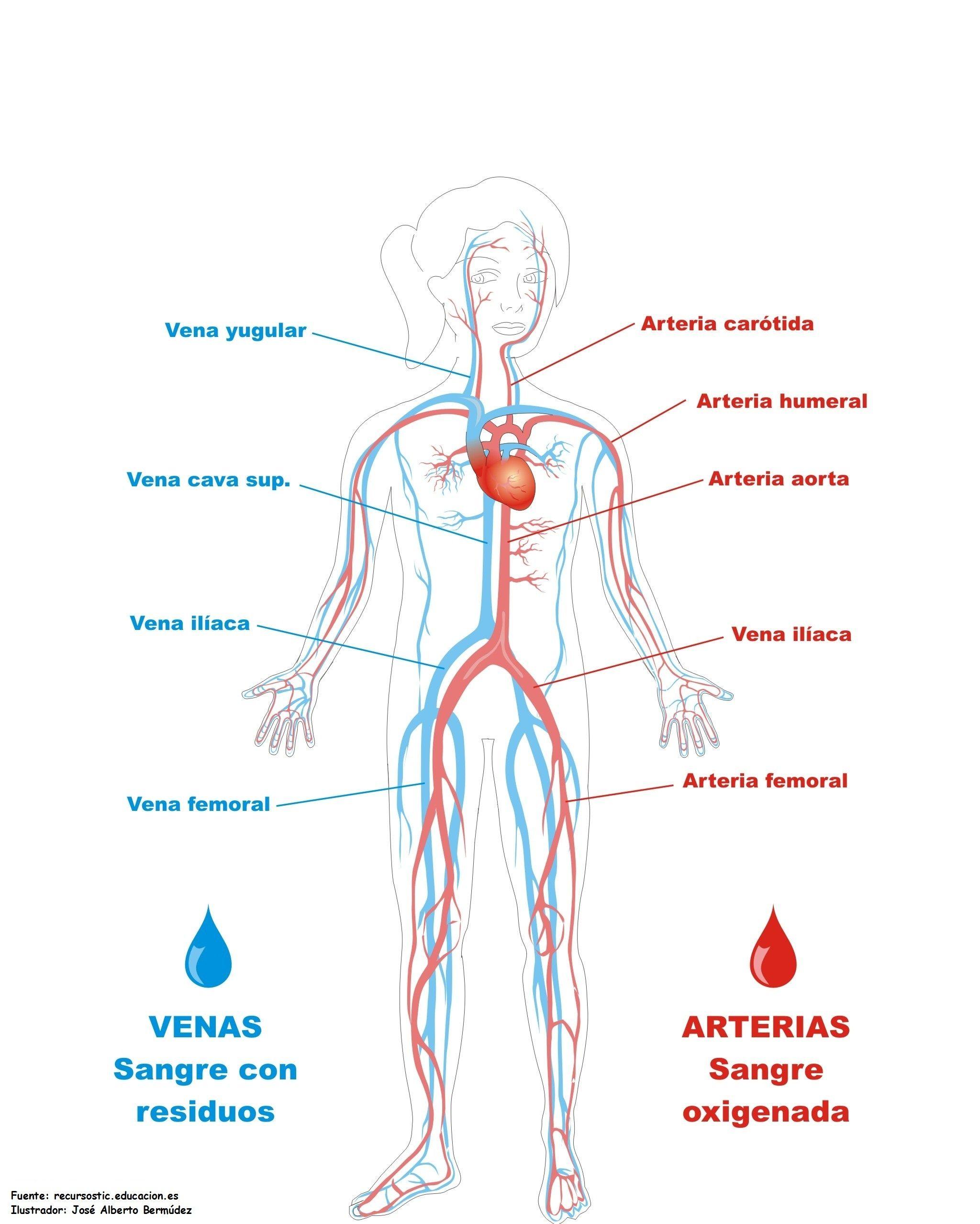 imágenes sistema circulatorio sistema circulatorio … | Lugares que ...
