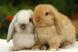 15 Mini Lop Rabbits For Sale Conway Arkansas Rabbits For Sale Lop Bunnies Mini Lop Bunnies