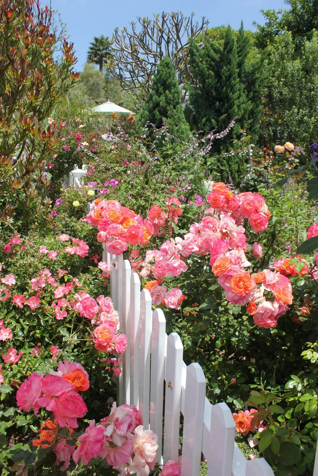pink roses beside a white picket fence