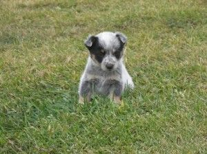 Miniature Blue Heeler Puppies For Sale Blue Heeler Puppies