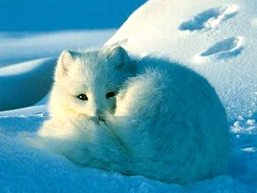 Arctic Fox - World's Warmest Coat, Crafty Tundra Dweller | Arctic ...