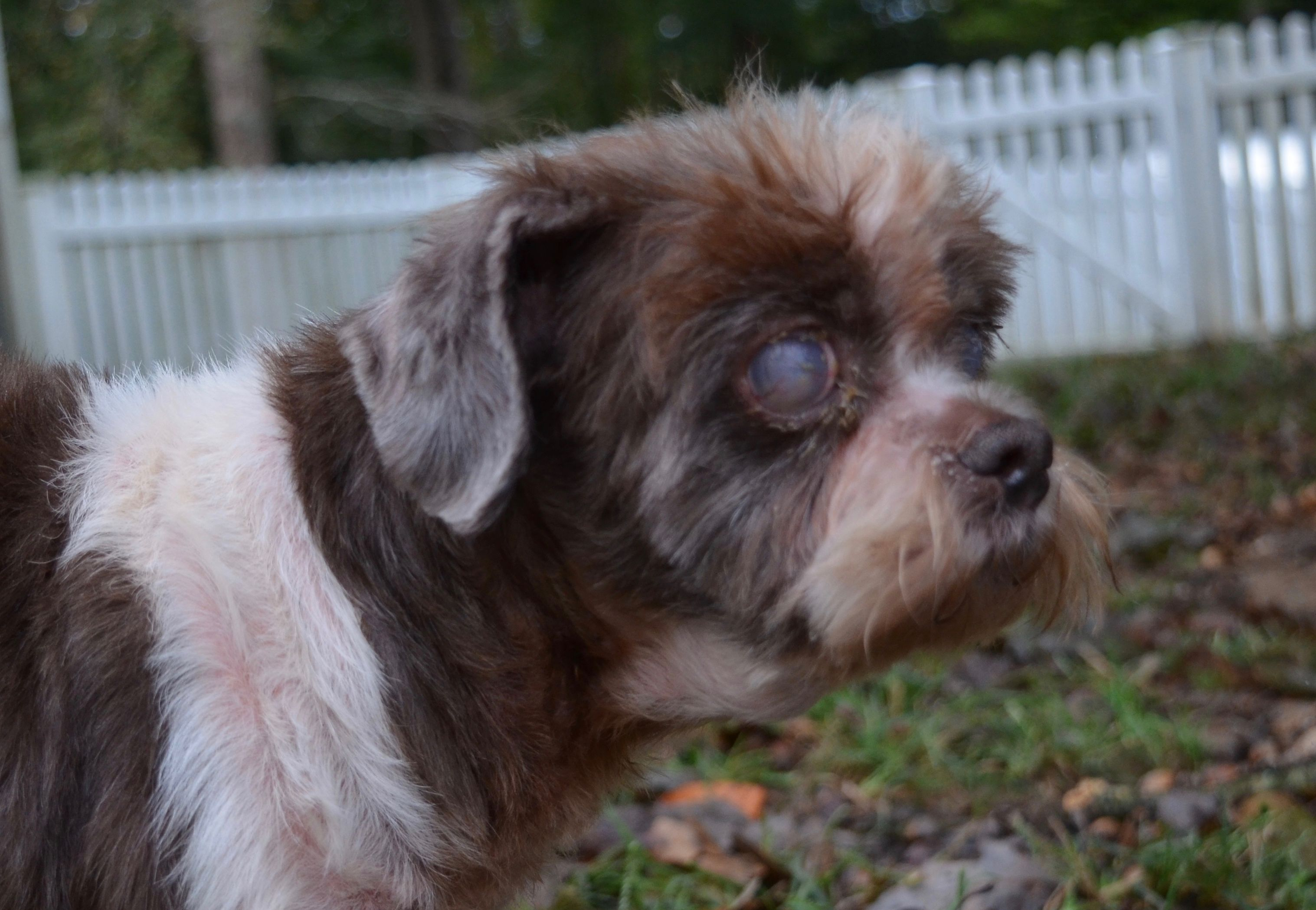 Adopt Grady On Petfinder Shih Tzu Dog Adoption Shih Tzu Dog