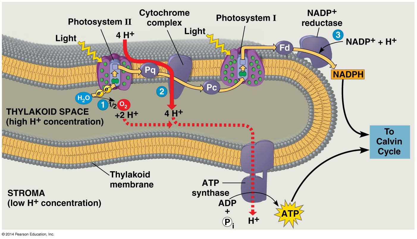 the light reactions and chemiosmosis current model of the organization of the thylakoid membrane [ 1402 x 804 Pixel ]