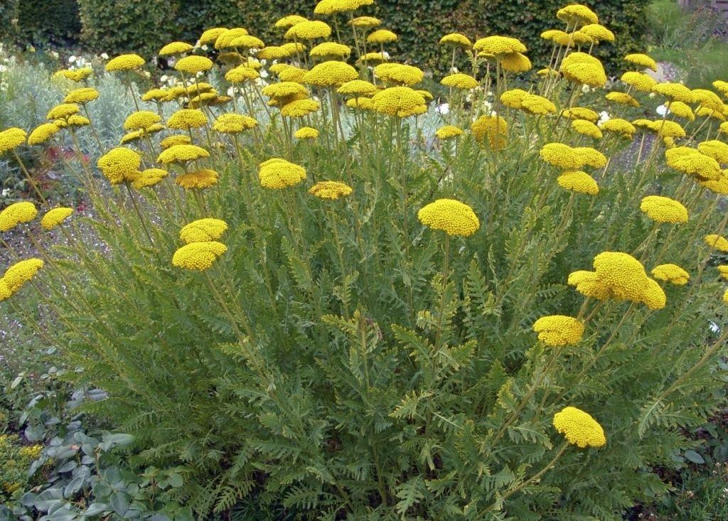 Achillea Filipendulina Yarrow Achillea Plants Deep Yellow Flowers