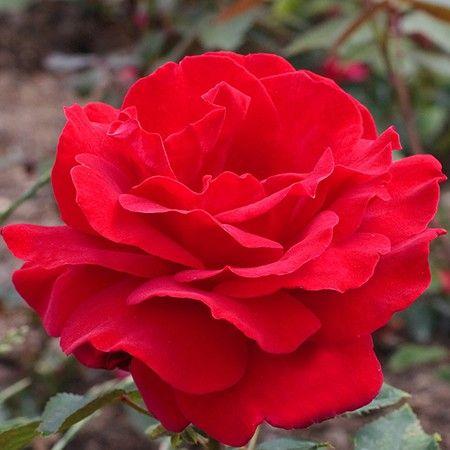 5b48f51ffd16f7 Rosier 'Victor Hugo®' Meivestal - Rosier Meilland | ~*~ Roses ...