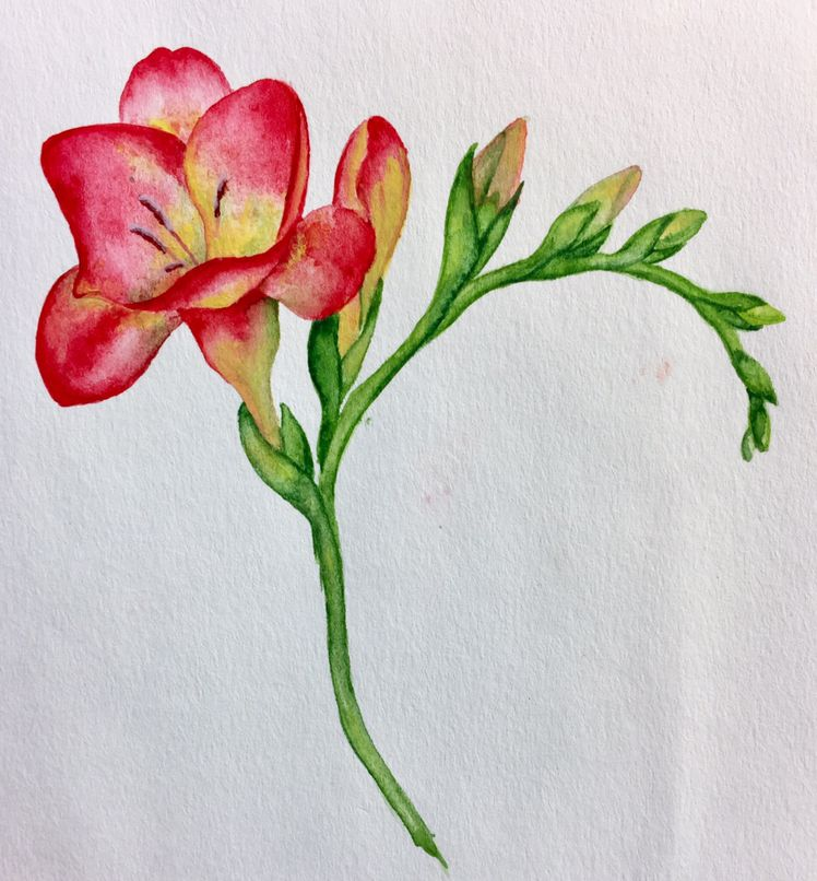 Freesias In 2020 Flower Drawing Tutorials Flower Drawing Flower Art
