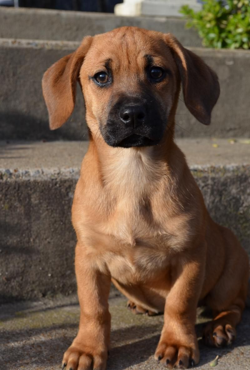 Bella Is A Very Sweet Little 10 Week Old Female Boxer Golden Retriever Mix Puppy She Was Surrendered Golden Retriever Mix Puppies Dog Lovers Majestic Animals