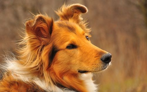 Shetland Sheepdog Collie Dog Dog Breed Info Dogs