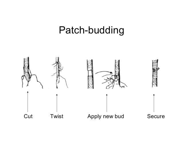 patch budding steps