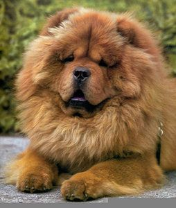 No I M Not A Lion Chow Chow Dogs
