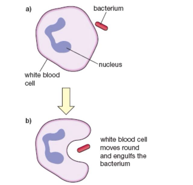 Phagocytosis phagocytosis pinterest aqa and gcse science phagocytosis ccuart Gallery