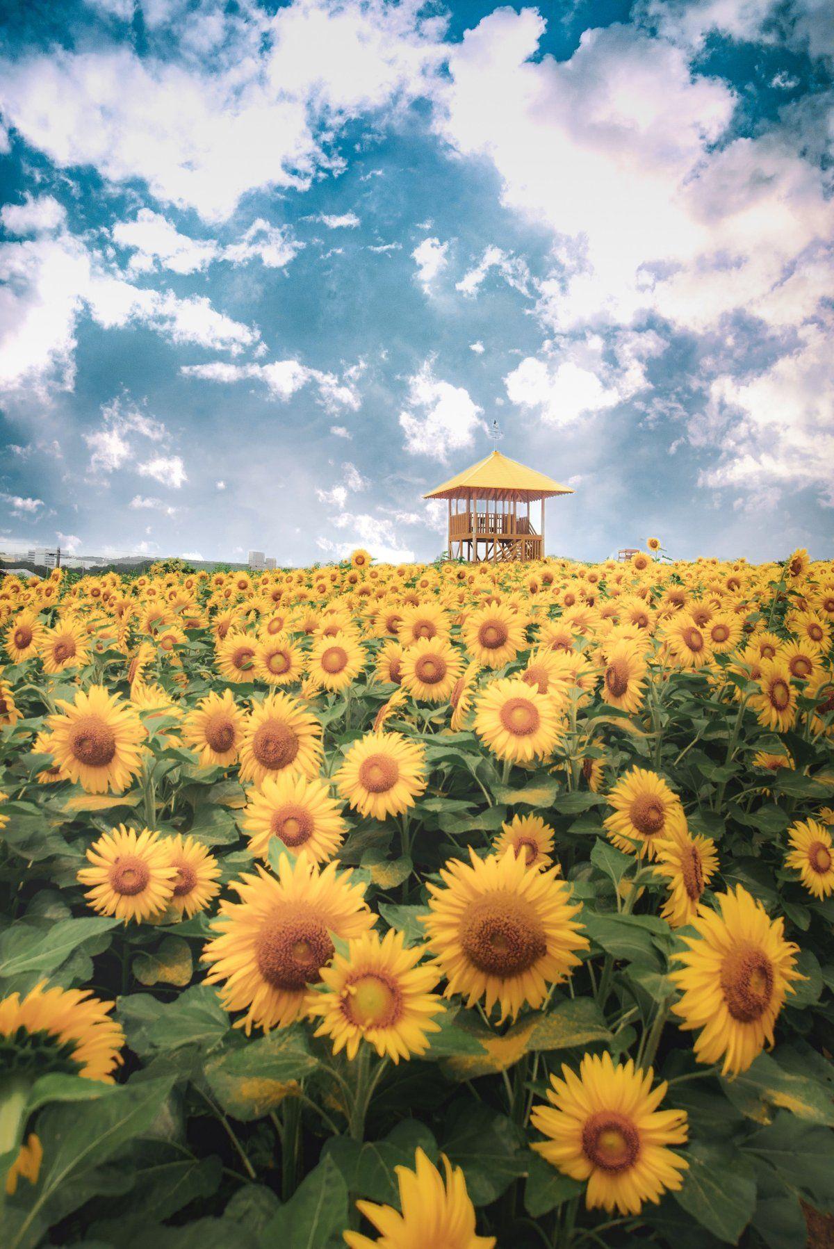 9月下旬まで楽しめる向日葵畑 Triproud ひまわり 壁紙 風景 花 イラスト