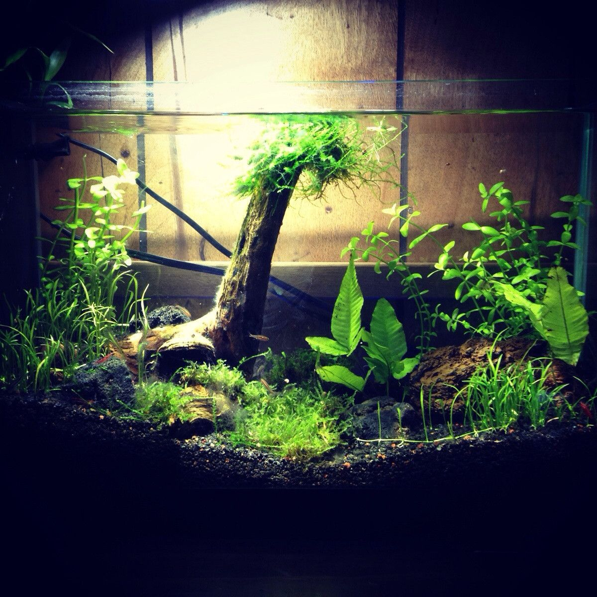 Freshwater fish for 5 gallon tank - My 5 Gallon Planted Tank By Gethyphyy