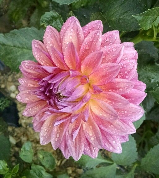 Scaur Swinton Dahlia Flowers Bloom