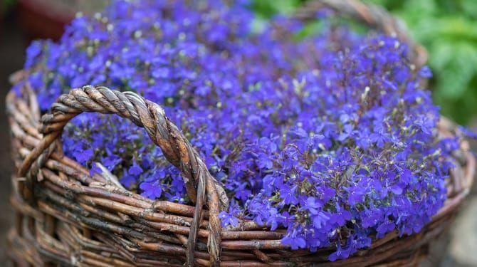 Lobelky sú vďačné balkónovky - bohatú násadu kvetov získate za minimálnu starostlivosť.