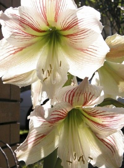 Feeding Amaryllis Plants Learn How And When To Fertilize Amaryllis Bulbs Amaryllis Plant Amaryllis Bulbs Amaryllis Flowers