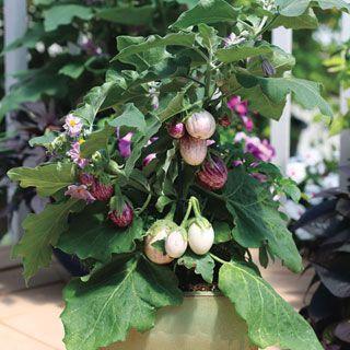 Pinstripe Hybrid Eggplant Seeds Eggplant Seeds Vegetable Seed Seeds