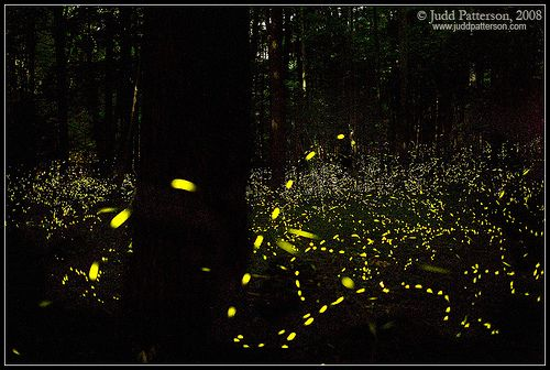 Delayed exposure of fireflies in Great Smoky Mountains ...