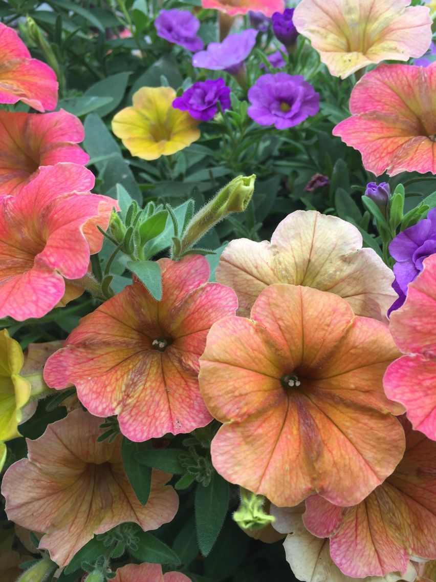 Indian Summer Cascadia Petunia Double Amethyst Minifamous Calibrachoa Backyard Design Petunias Hanging Baskets